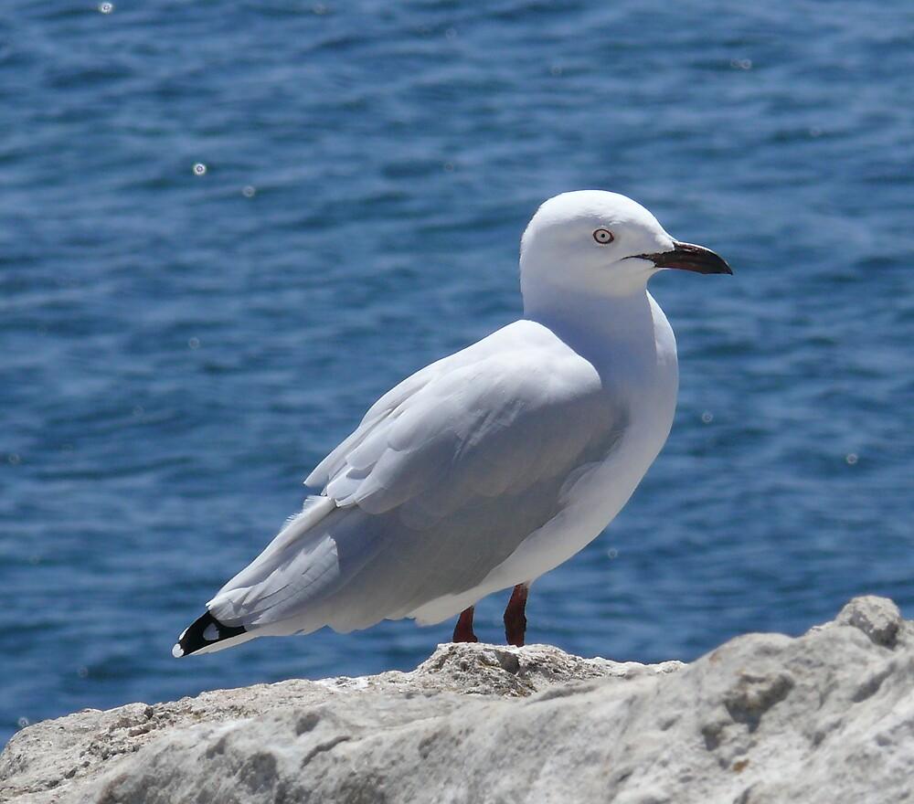 west Australian seagull{pest} by robinof