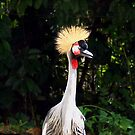 Africa's Crowned Crane by Bev Pascoe