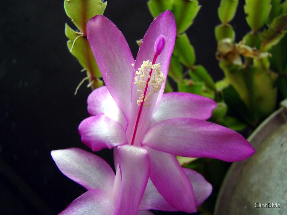 Christmas Cactus by ClintDMc