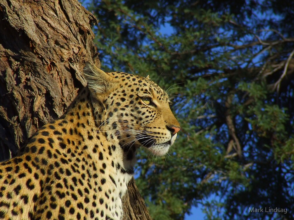 Relaxed Leopard by Mark Lindsay