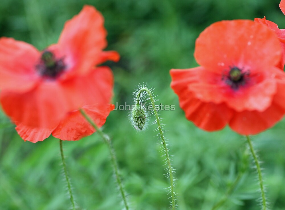 Two Poppies and bud by John Keates