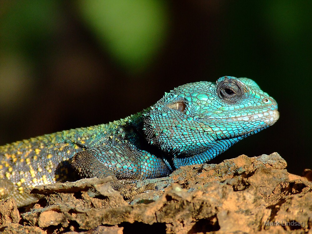 Blue Headed Lizard by Mark Lindsay