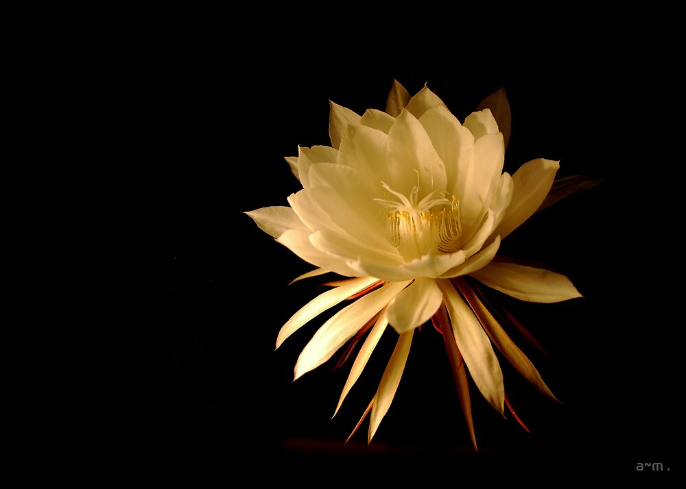 ~Queen of the Night (Cereus)~ by a~m .