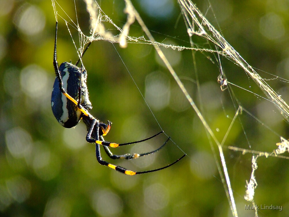 Bushveld Spider by Mark Lindsay