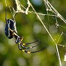 Bushveld Spider by Mark Lindsay