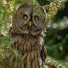 Great Grey Owl by JMChown