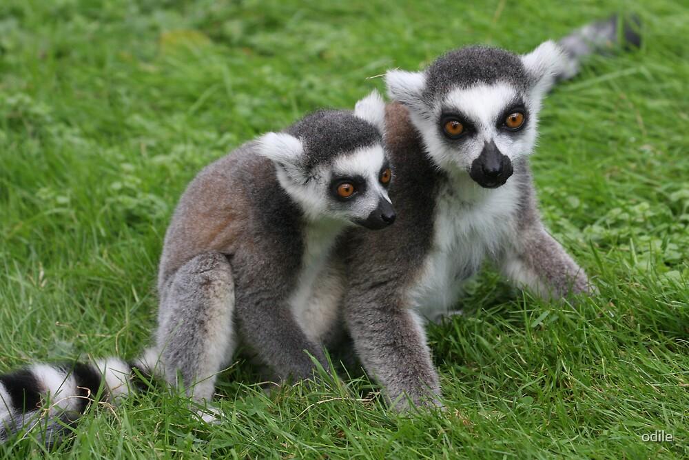 lemurs by odile