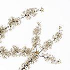 White Filigree of Spring by Georgia Mizuleva