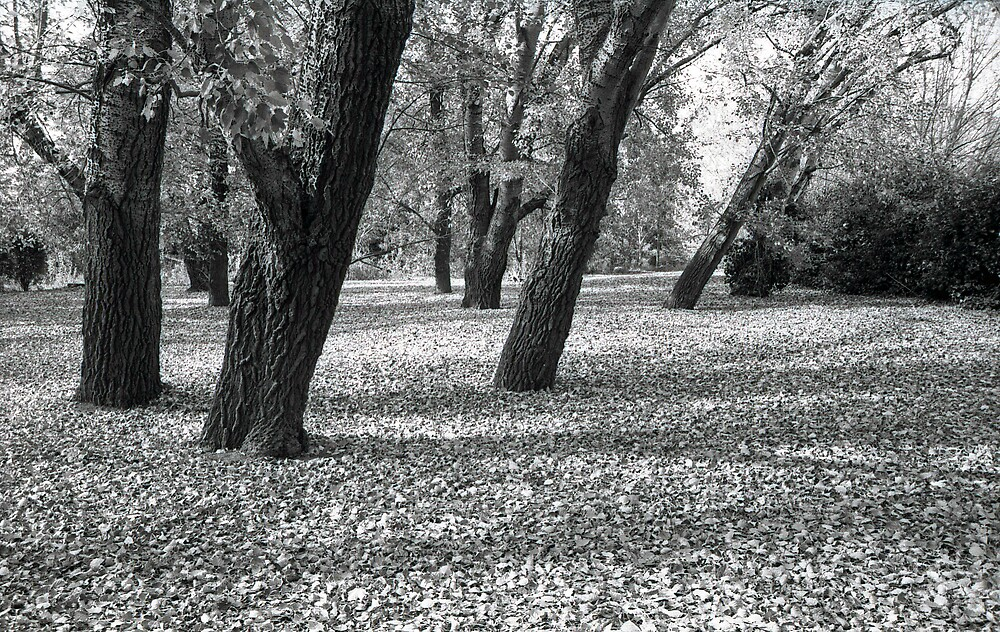Trees in Autumn by archieswell