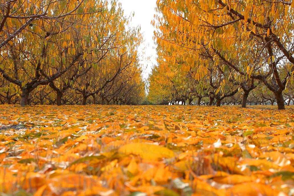 Peach trees in Autumn by Jonron2