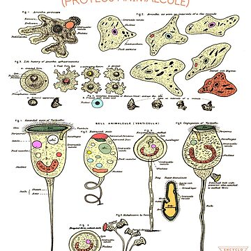 Amoeba Anatomy | Microscopic Science Art by encyclo-art