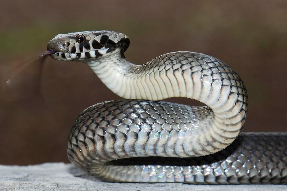 Pale-headed snake (Hoplocephalus bitorquatus) by herpetofauna