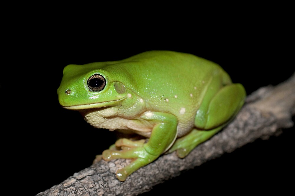 """Common Green Tree Frog (Litoria caerulea)"" by ..."