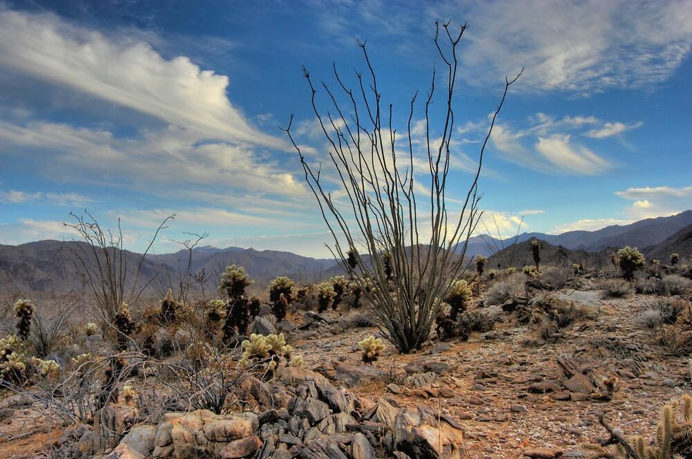 Ocotillo - Anza Borrego by DesertDweller