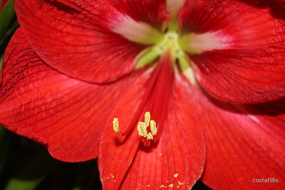 Red Flower by costafillis