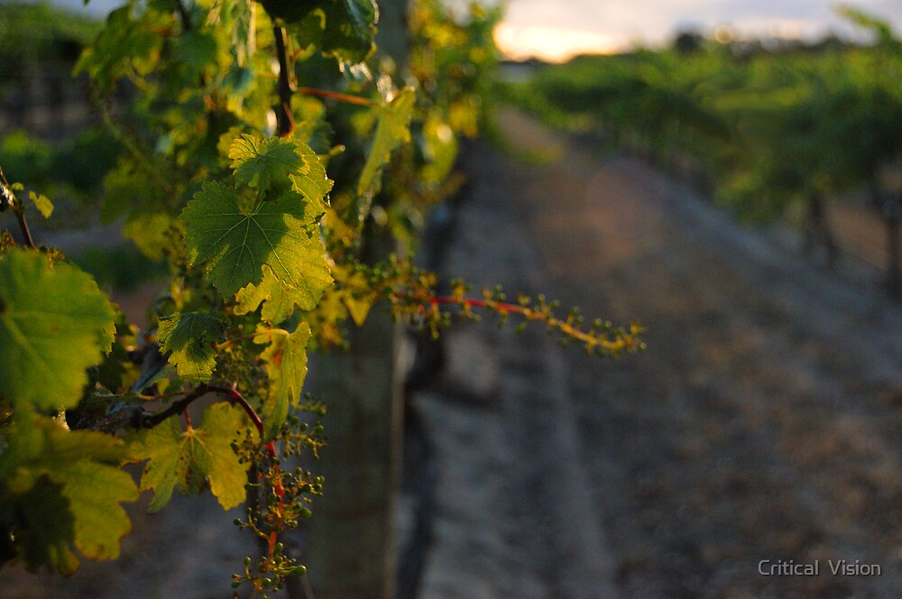 McLaren Vale Vines by Critical  Vision
