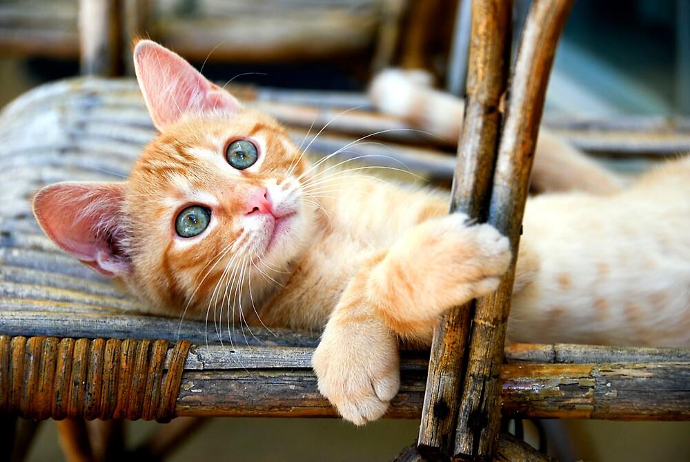 The kitten by Alyssa Barwick