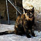 Maltese Cat by Alison Cornford-Matheson