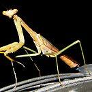 Praying Mantis by DottieDees