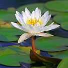 Water Lilly by sharont