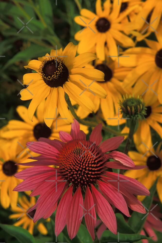 Echinacea & Black-Eyed Susan by Bill Spengler