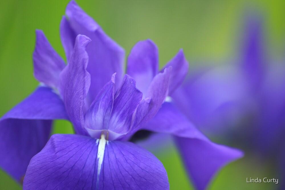 Purple Iris by Linda Curty
