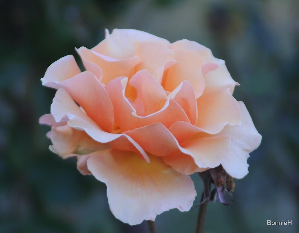 A peach of a rose by BonnieH