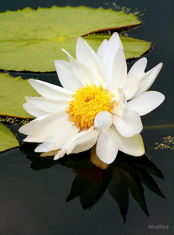 Water Lily by Modified
