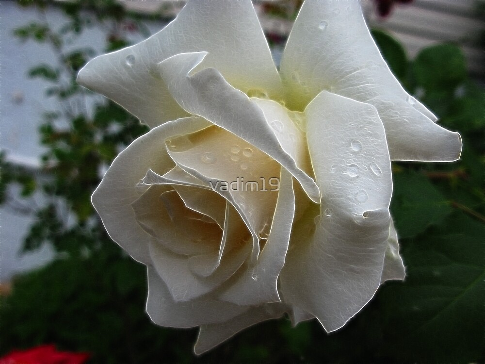 White Rose by vadim19