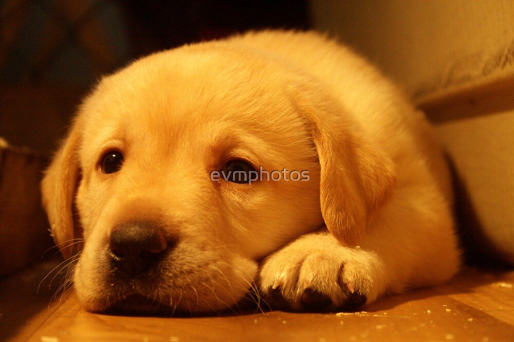 Puppy Rest. by evmphotos