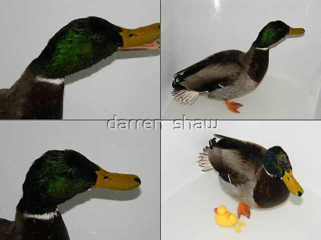 duck post card by darren  shaw