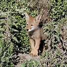 Coyote Pup Looking out of Den - 5343 by BartElder