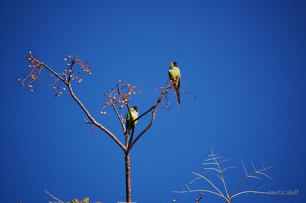 Green Monk Parakeets by nauticalelf