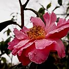 Raindrop Rose  by Douglas E.  Welch