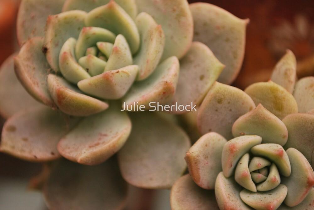 succulent by Julie Sherlock