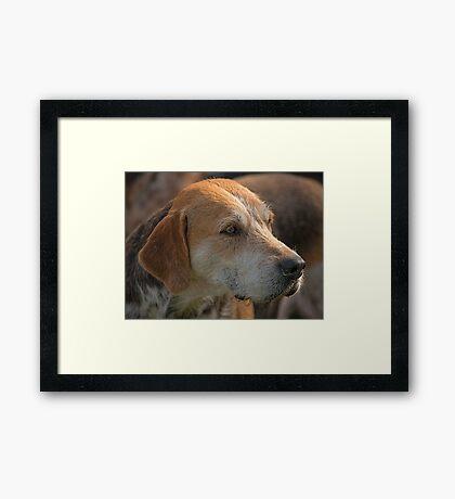 Fox Hound (4) Framed Print