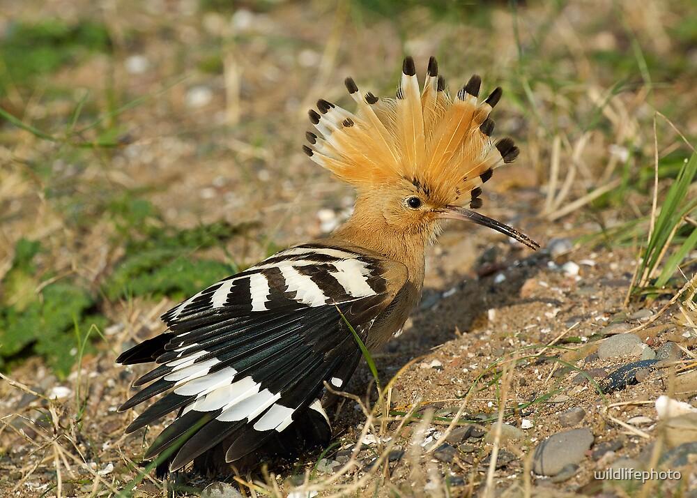 Hoopoe by wildlifephoto