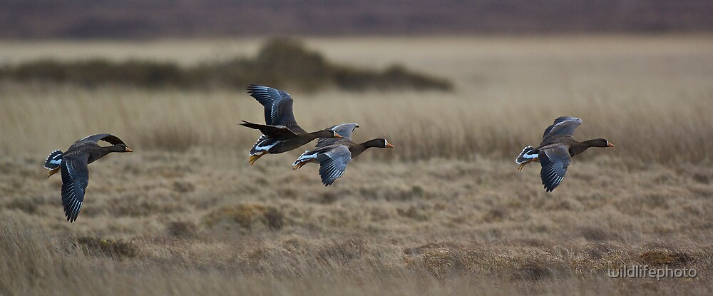 Greenland White-fronts by wildlifephoto