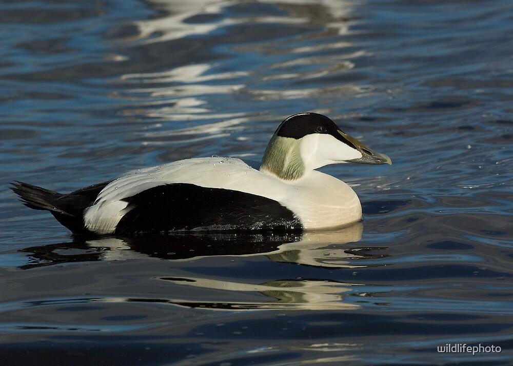 Eider duck by wildlifephoto