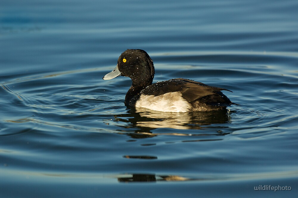Tufted duck by wildlifephoto