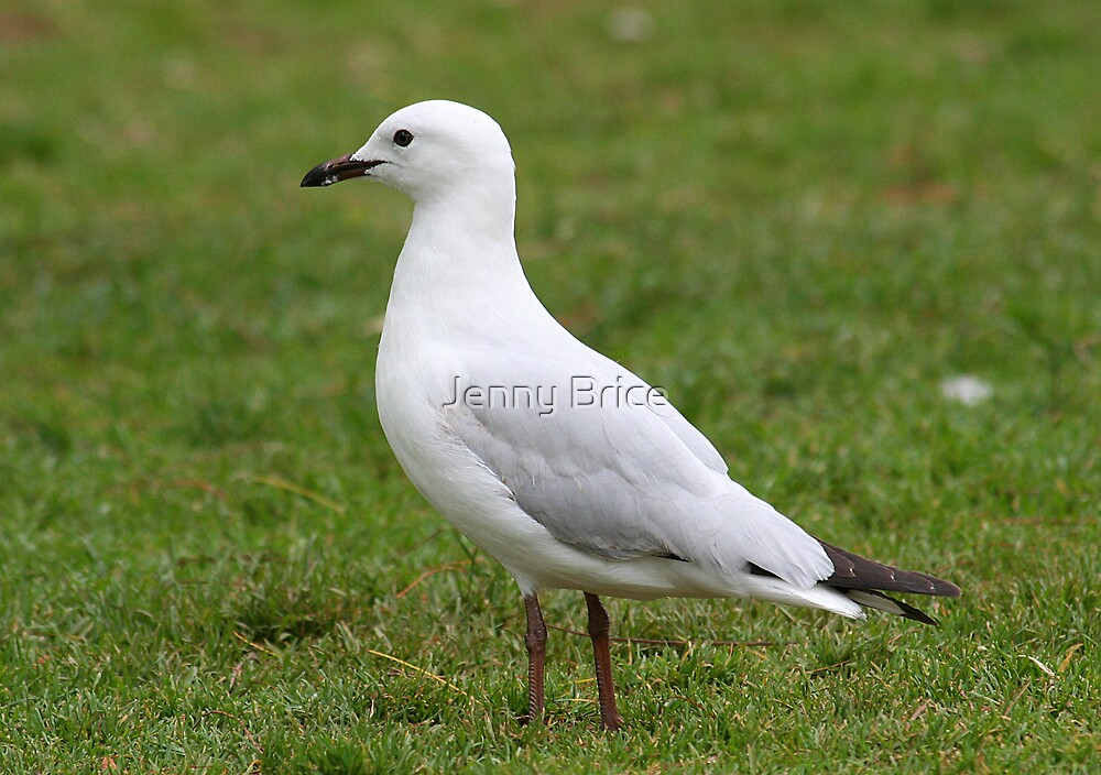 Seagull by Jenny Brice