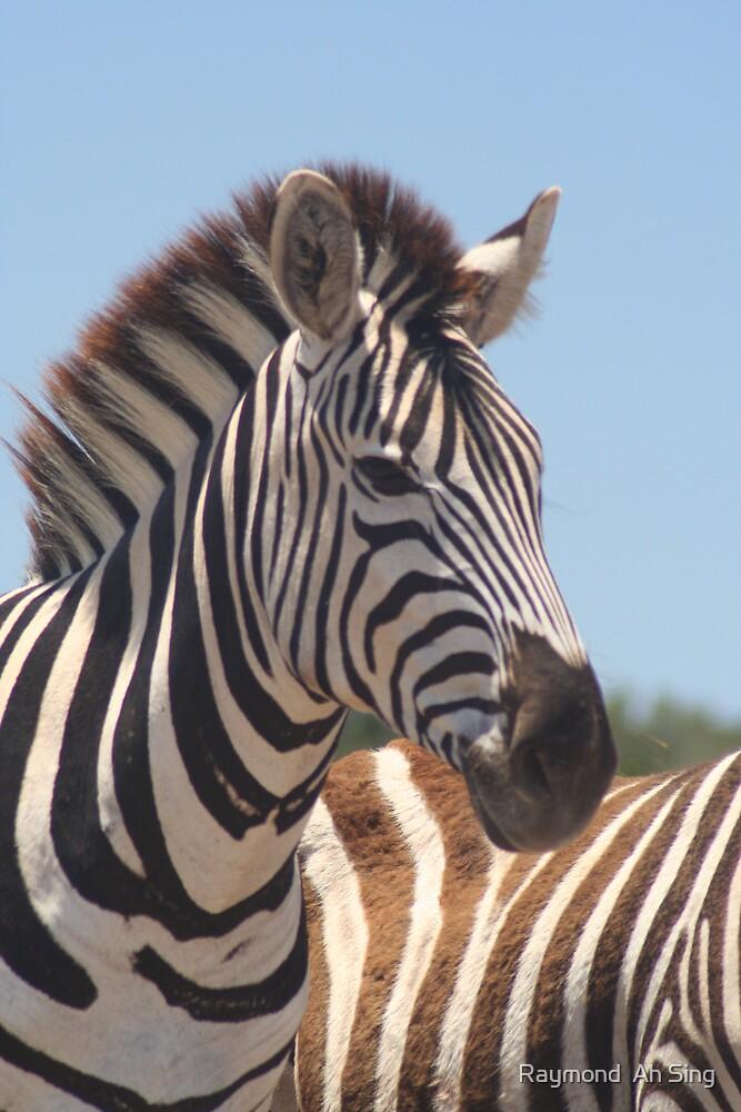 Zebra by Raymond  Ah Sing
