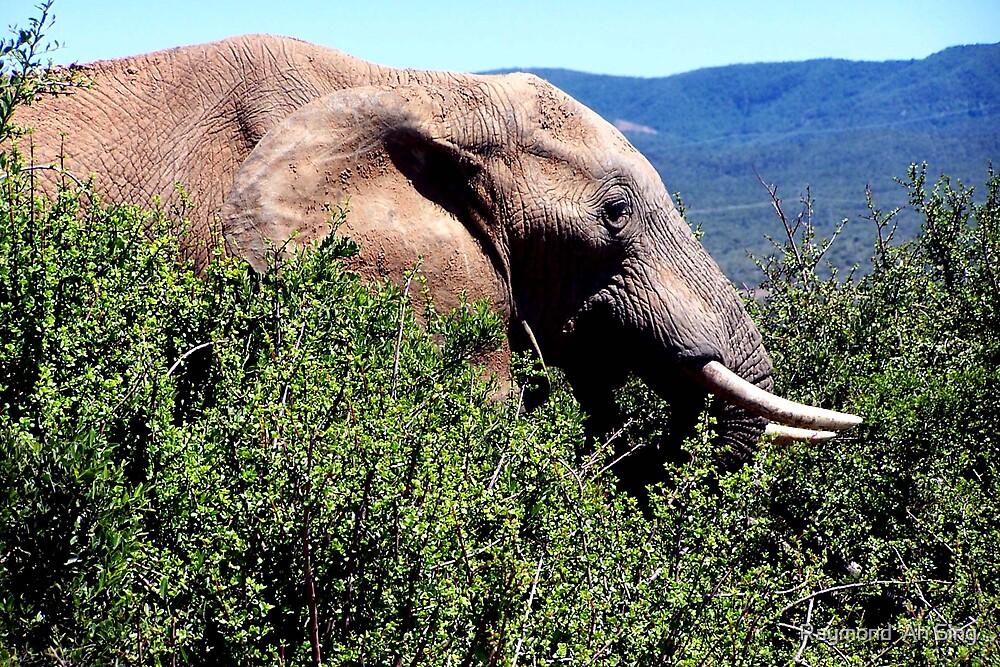 Bull Elephant by Raymond  Ah Sing