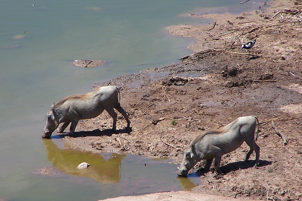Pair of Warthogs by Raymond  Ah Sing