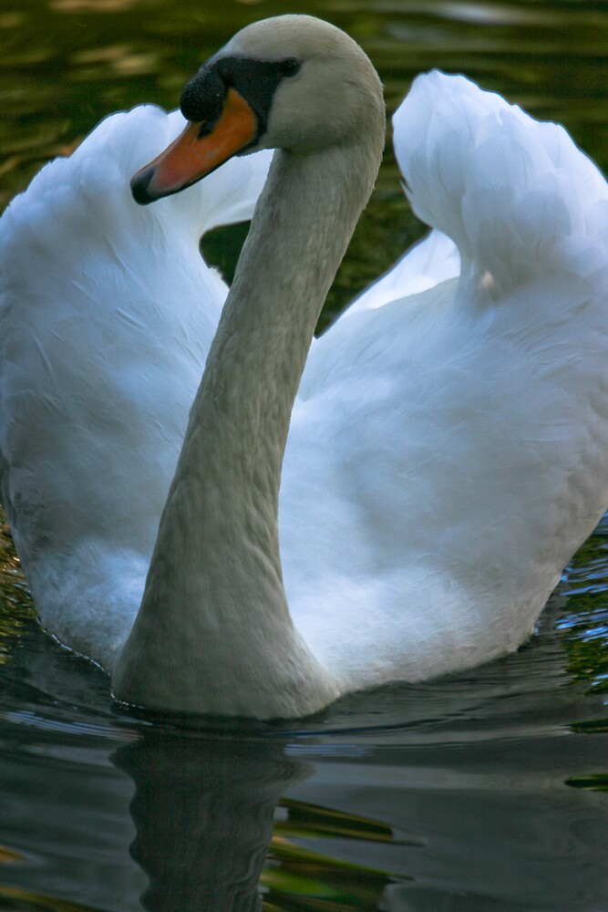 Young Male Swan by Karen Kaleta