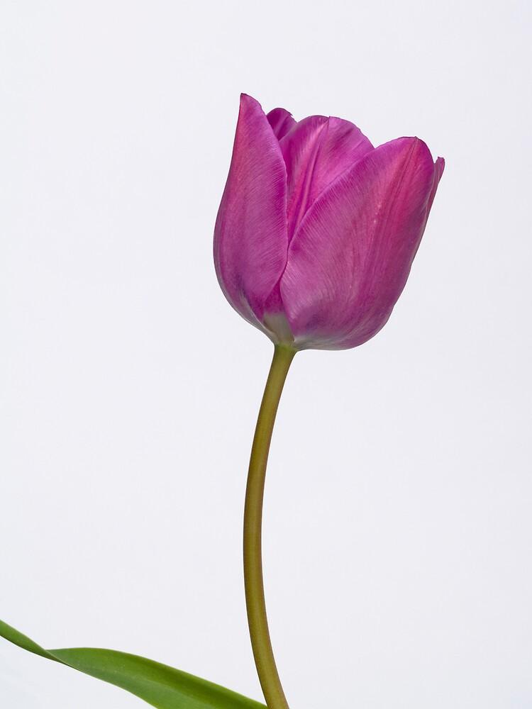 Tulip by benjaminpics