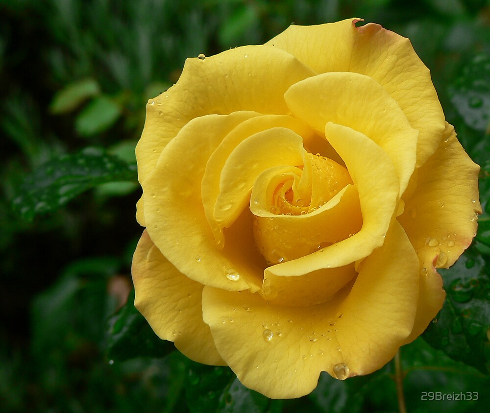 My yellow rose by 29Breizh33