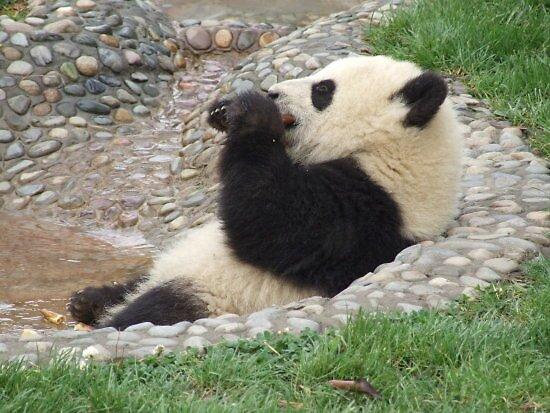 lounging panda by gail