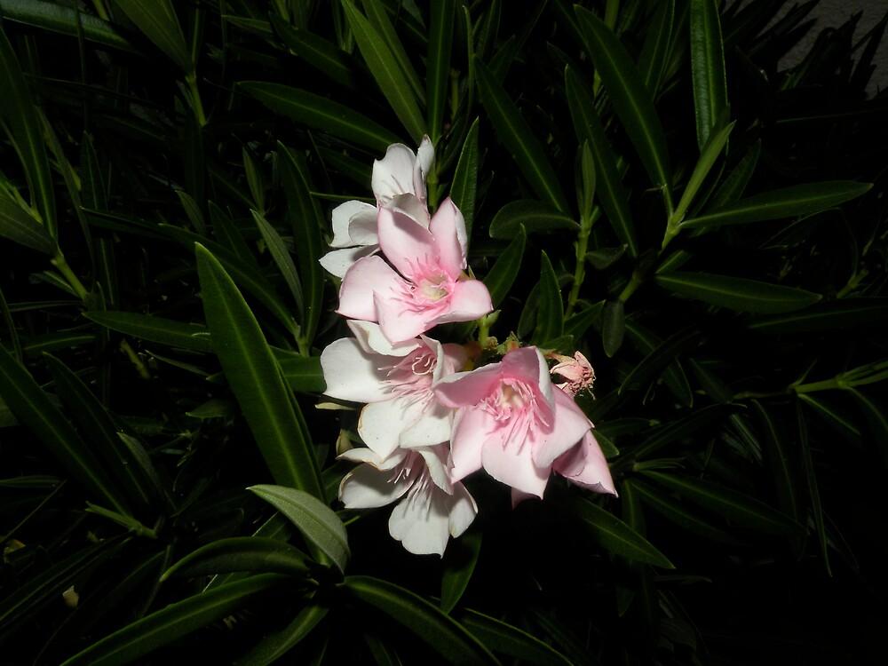 oleander's !! by Bonnie Pelton