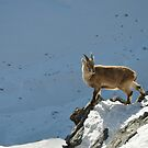 See the Chamois by Rosy Kueng Photography